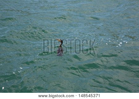 A black cormorant swims in the water of Lake Ontario off the Toronto shore.