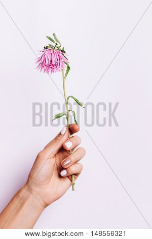 Pink Flower In A Female Hand With A Manicure On A Pink Backgroundbackground