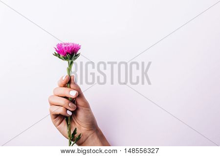 Purple Aster Flower In A Female Hand With A Manicure On A Pink Background