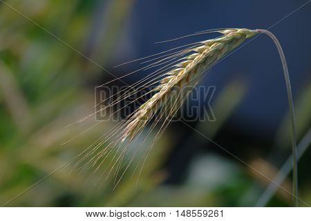 Rye ear bent under the weight of grains