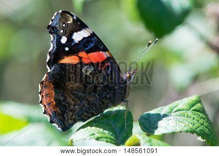 Red admiral butterfly (Vanessa atalanta) backlit by sun. Insect in the family Nymphalidae at rest on bramble showing underside of wings