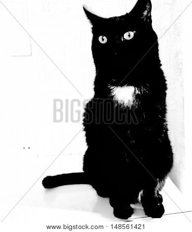 pets, cat, it is black the white