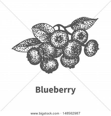 Vector illustration doodle sketch hand-drawn blueberry with leaves and branches. Isolated on white background. Berry painted dots and lines. The concept of gardening and harvesting.
