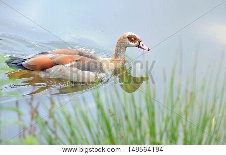 shelduck walk on lake in park