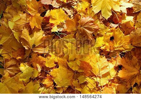 Autumn leaves. Natural seasonal colored background. Nature.