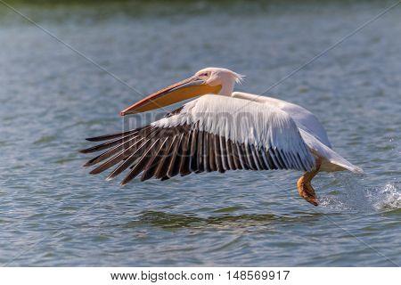white pelican (pelecanus onocrotalus) in flight in Danube Delta Romania