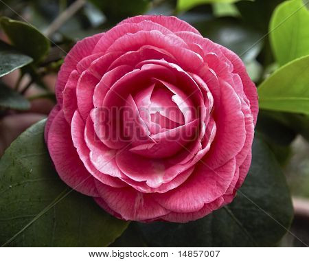 dark pink camellia flower closeup