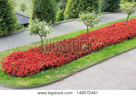 beautiful field of red flowers in public park
