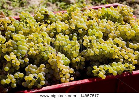 Wine Harvest (riesling), Czech Republic