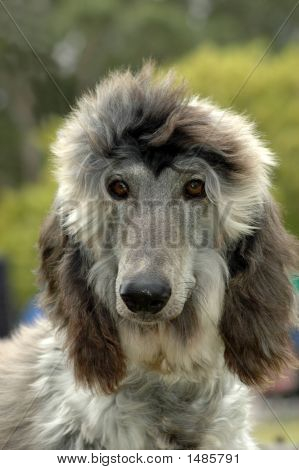Afghan Puppy Dog