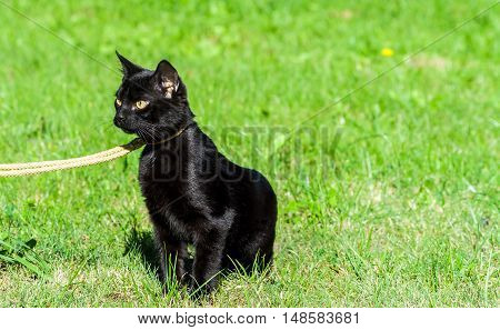 small black cat, five months, walking on the street on a yellow ropes course leash, sitting on green grass, yellow eyes cold and thoughtful, sunny day, a shiny coat,