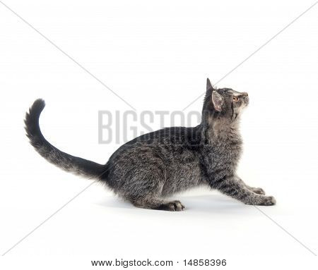 Gray Cat On White