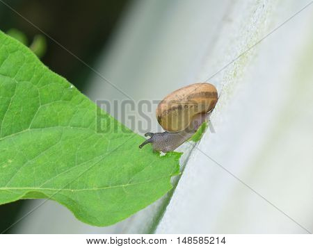 Little Snail Standing on the White Wall while Eating Green Leaf