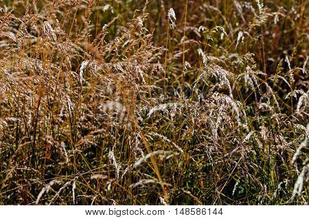 Brown Tall Grass In A Field
