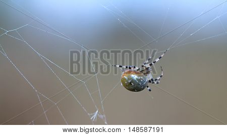 The female spider Araneus hangs on the web. Blurring background.
