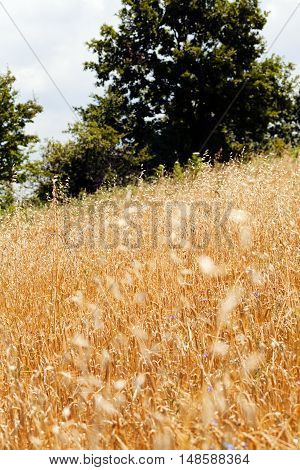 Bright Gold Grass