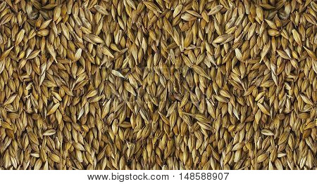 Barley Grain. Barley Is A Major Cereal Grain, A Member Of The Grass Family. The View From The Top.