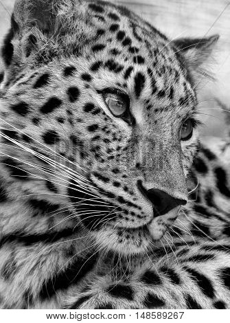The Amur Leopard, one of the rarest big cats in the world.