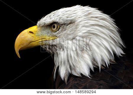 The American Bald Eagle, the symbol of America