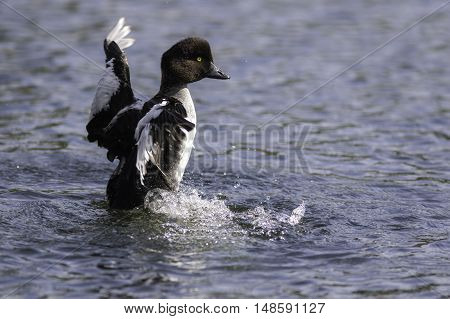 Male goldeneye duck (Bucephala Clangula) in eclipse plumage with wings outstretched.