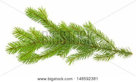 Pine branch isolated on white background. Top view.