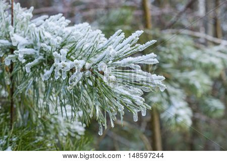 Pine branches, pine needles covered with frost. Winter, New Year's abstract background.Winter forest.