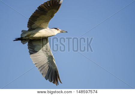 Black-Crowned Night Heron Flying in a Blue Sky