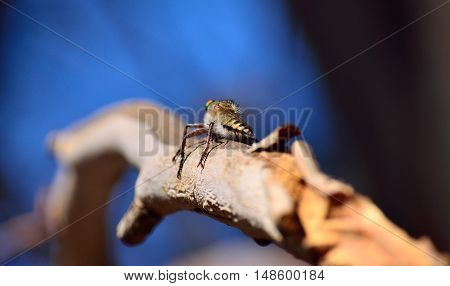 Robber fly perched on tree branch and waiting a prey