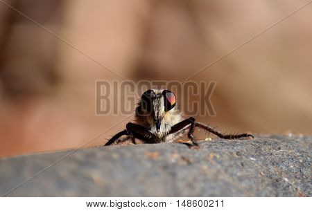 Robber fly in foreground staring on stone