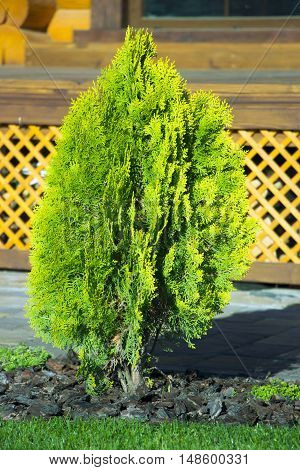 Thuja Occidentalis Eastern Arborvitae Is An Evergreen
