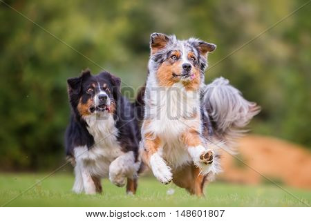 Two Australian Shepherd Dogs Running For A Toy