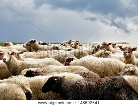Sheep Herd In A Green Meadow. Spring Fields And Meadows