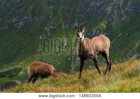 Mountain Chamois (Rupicapra Carpatica) herding in the Western Tatras