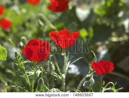 Poppy flowers on a meadow in the backlight