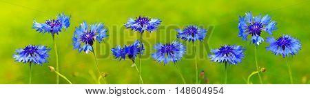 Blue wild cornflowers isolated on green background .Natur background.