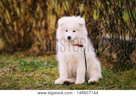 White Samoyed Puppy Dog Outdoor siti in grass in Park.