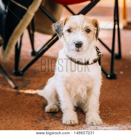 Young Rough Coated Jack Russell Terrier Dog on Floor. Small terrier
