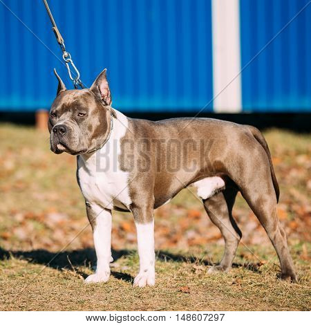 Beautiful Dog American Staffordshire Terrier Outdoor in Autumn Season