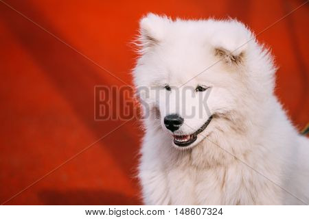 Close Up Of Young White Samoyed Dog Puppy On Red Wall Background