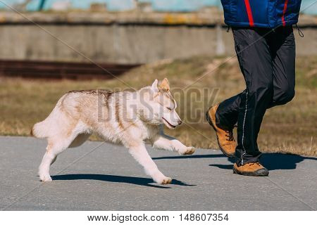 Young Funny White And Gray Husky Puppy Dog Play Run Outdoor Near Man