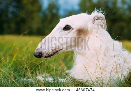 White Gazehound Hunting Dog Sit Outdoor In Summer Meadow Green Grass.