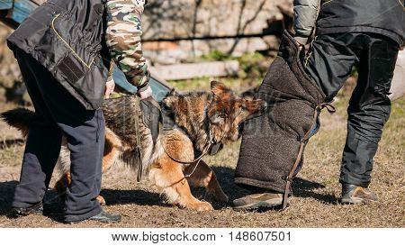 German Shepherd Dog Training. Biting Alsatian Wolf Dog.
