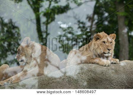PARIS, FRANCE - JUNE 27, 2016: Lioness and juvenile male lion (Panthera leo) at Vincennes Zoo in Paris, France.