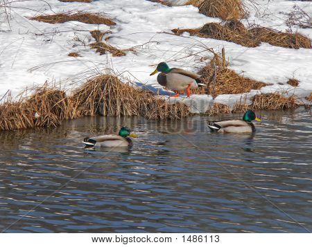 Wild Ducks (Spot-Billed Duck) (Anas Poecilorhyncha) 5