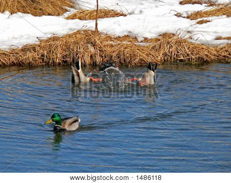 Wild Ducks (Spot-Billed Duck) (Anas Poecilorhyncha) 6