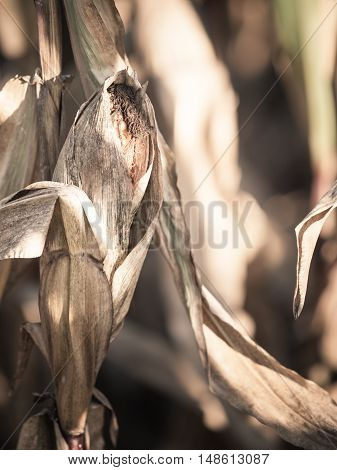 Closeup of dry corn field. Agriculture. Filtered photo