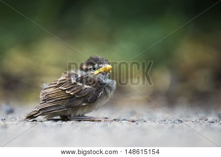 Helpless baby sparrow chick on a gravel roadway