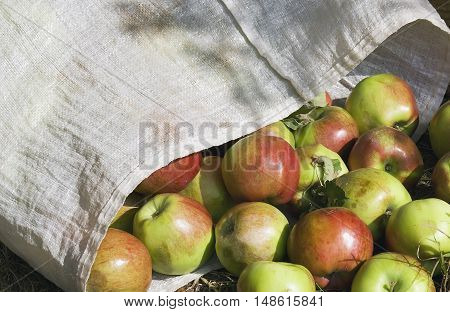 ripe plucked apples in a transportation bag