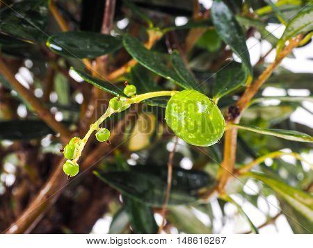 Unripe Olives At Closeup