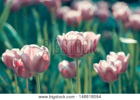 beautiful flower of tulip with lilac or pink petals on green stem in flowerbed on floral bouquet sunny day outdoor on natural background closeup